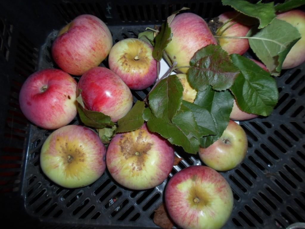 jabłka Grześka, Gregors Apfel